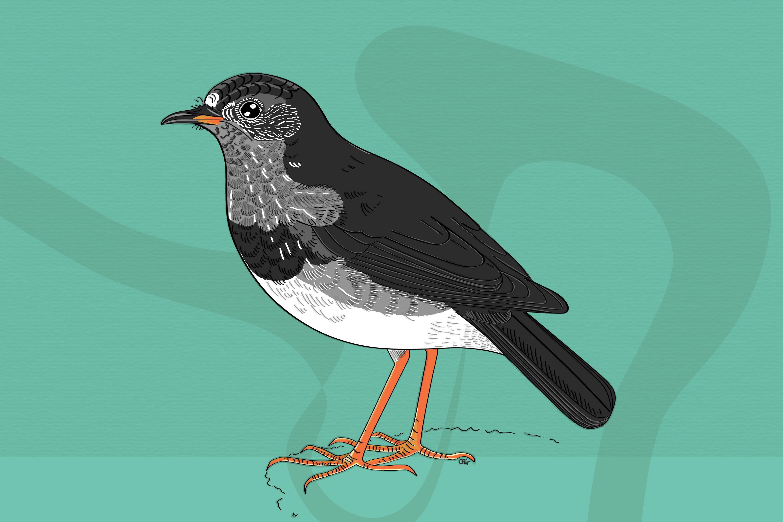 Kātoitoi - the South Island robin